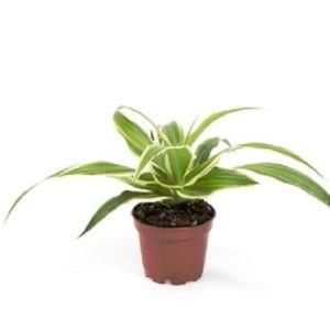 Chlorophytum comosum 'Laxum'