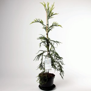 Cryptomeria japonica 'Kyara Gold'