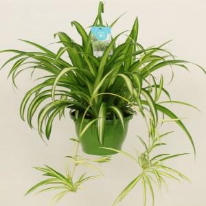Chlorophytum comosum 'Golden Glow'