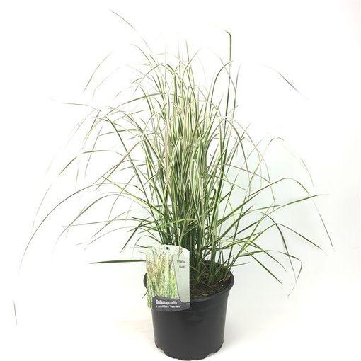 Calamagrostis x acutiflora 'Overdam' (Oprins Plant)