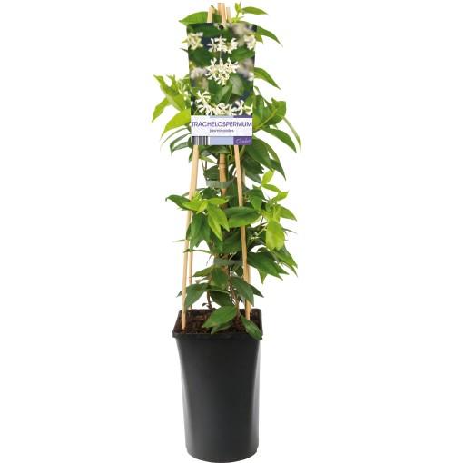Trachelospermum jasminoides (Van Der Starre BV)