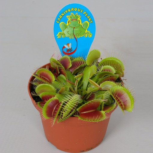 Dionaea muscipula (Stricker Plants)