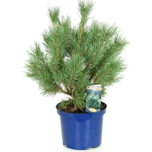 Pinus sylvestris 'Watereri' (Vredebest, Kwekerij )