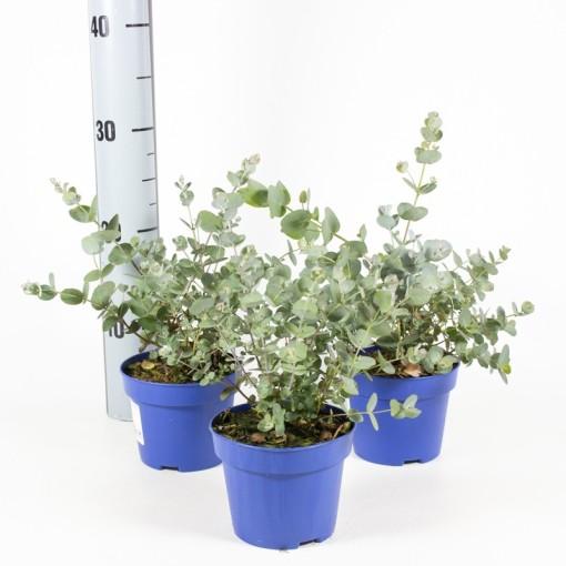 Eucalyptus gunnii (Experts in Green)