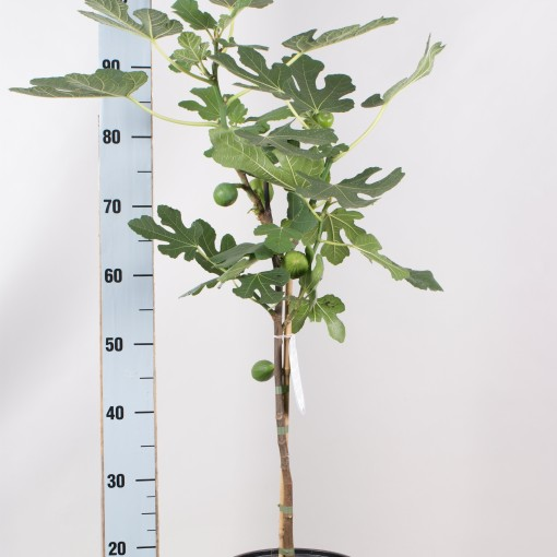 Ficus carica (Seuren Rozenkwekerijen BV, Gebr.)