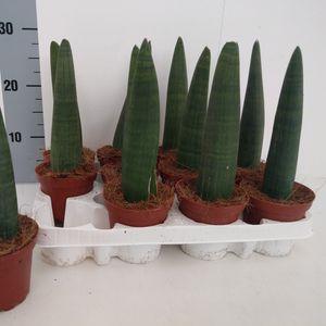Sansevieria cylindrica 'Compacta' (RuBa Baers)