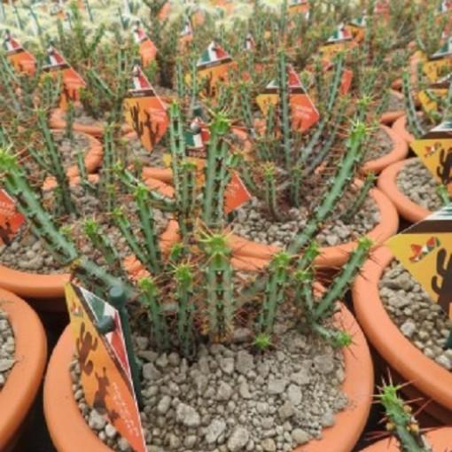 Euphorbia aeruginosa (John De Wilde bvba)