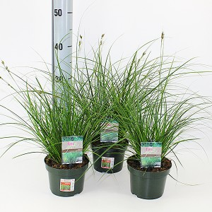 Carex brunnea 'Magic Green'