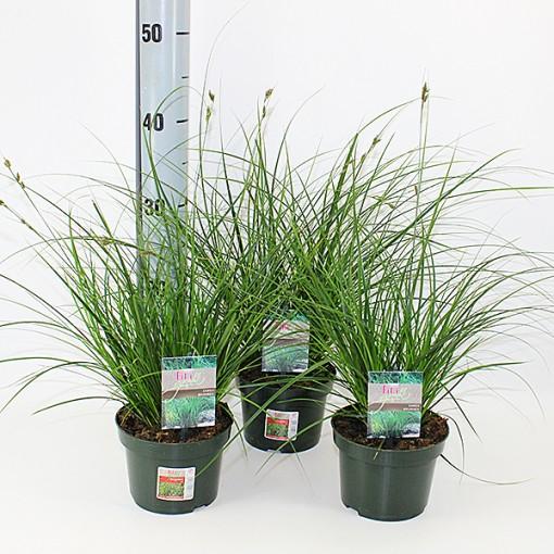 Carex brunnea 'Magic Green' (Experts in Green)