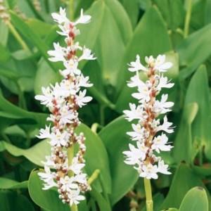 Pontederia cordata 'White Pike' (van der Velde Waterplanten BV)