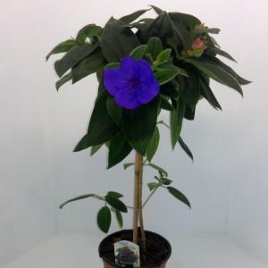 Tibouchina urvilleana 'Rich Blue' (Meeslouwer)