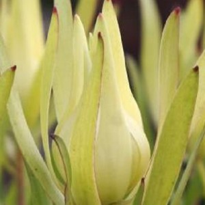 Leucadendron 'Inca Gold'