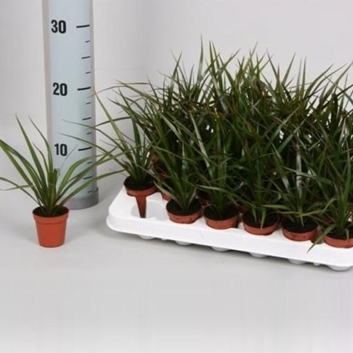 Dracaena marginata (Hkw. van der Velden)