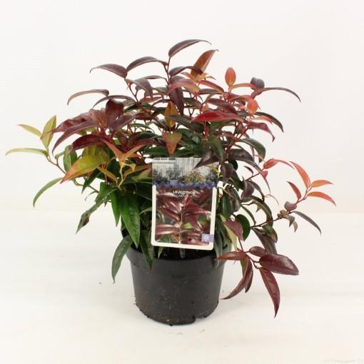 Leucothoe CARINELLA (Snepvangers Tuinplanten BV)