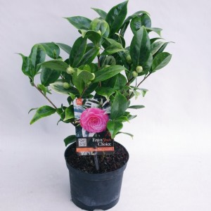 Camellia japonica 'Dazzling Pink'