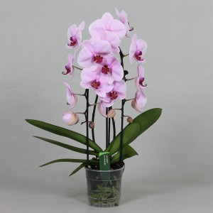 Phalaenopsis ANTHURA WASHINGTON