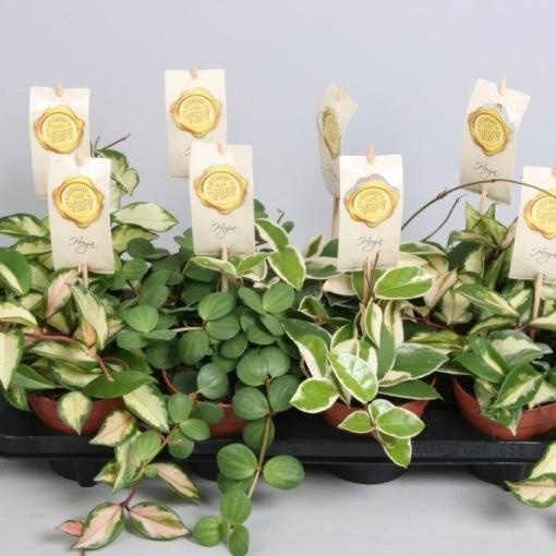 Hanging plants MIX (Handelskwekerij van der Velden)