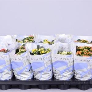 Kalanchoe blossfeldiana CALANDIVA MIX