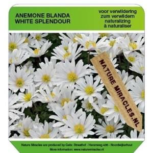 Anemone blanda 'White Splendour' (Gebr. Straathof)