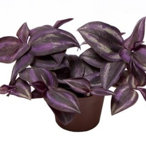 Tradescantia zebrina 'Purple Joy'
