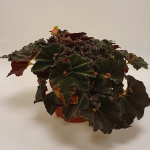 Begonia 'Anne'