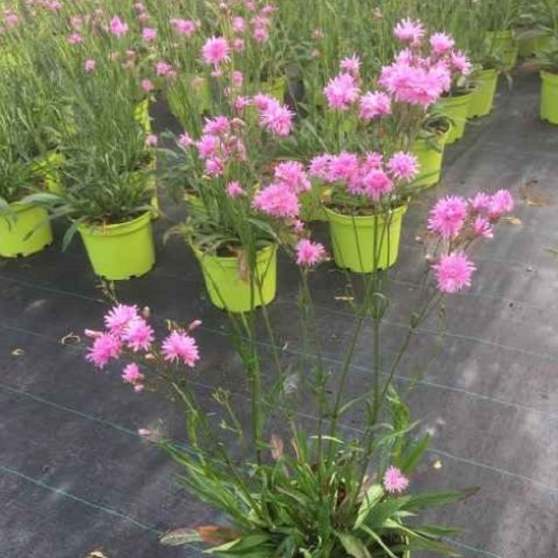 Lychnis 'Petite Jenny' (Experts in Green)