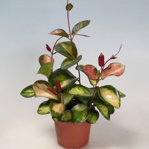 Hoya carnosa 'Tricolor' (Gasa DK)