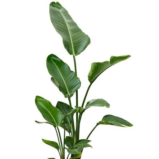 Strelitzia nicolai (Nieuwkoop Europe B.V.)