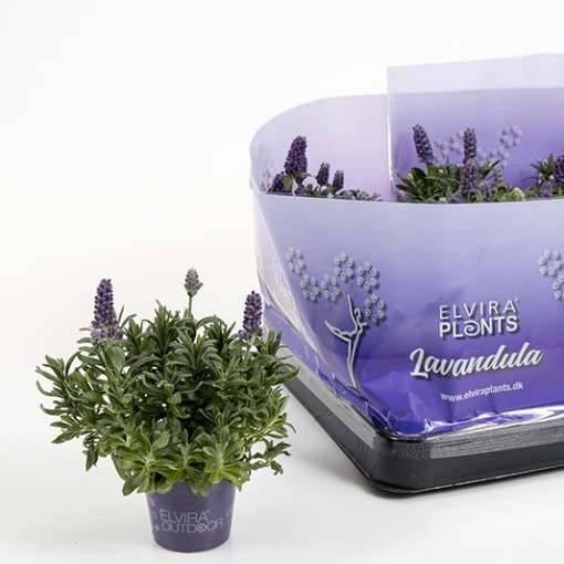 Lavandula angustifolia 'Hidcote' (Gasa DK)