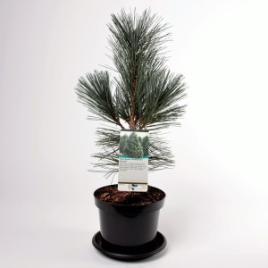 Pinus flexilis 'Vanderwolf's Pyramid'