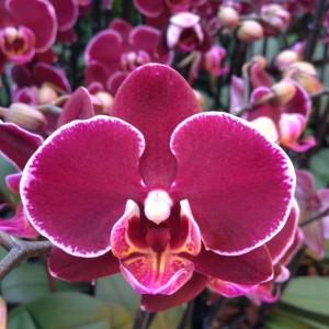 Phalaenopsis ANTHURA MONTPELLIER