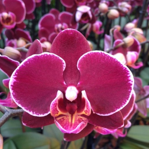 Phalaenopsis ANTHURA MONTPELLIER (Leerdam Orchideeën)