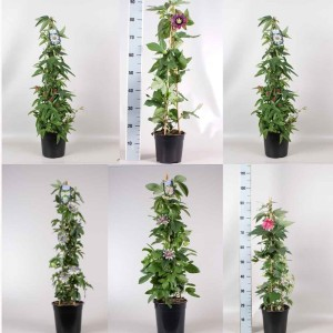 Passiflora MIX (Gebr. Seuren Rozenkwekerijen BV)