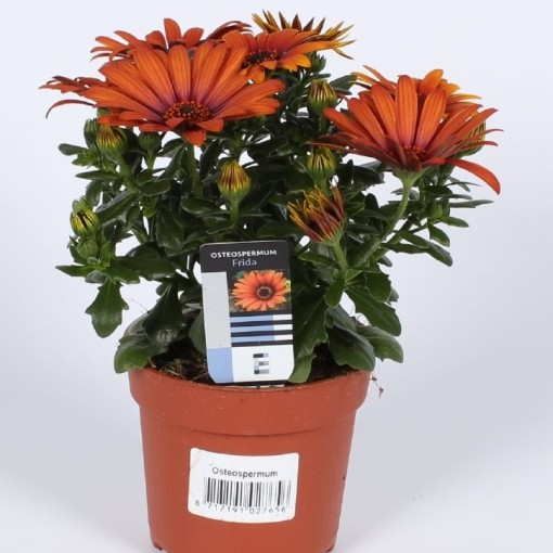 Osteospermum SUNNY FRIDA (Endhoven Flowering Plants)