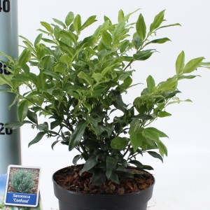 Sarcococca confusa (About Plants Zundert BV)