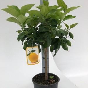Citrus x limon (Green Collect Sales)