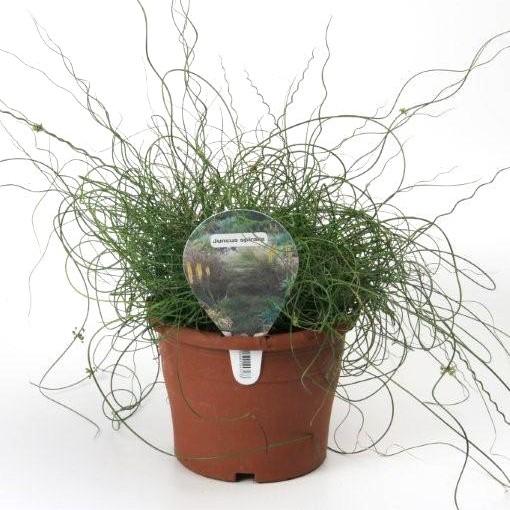 Juncus effusus 'Spiralis' (Gasa DK)