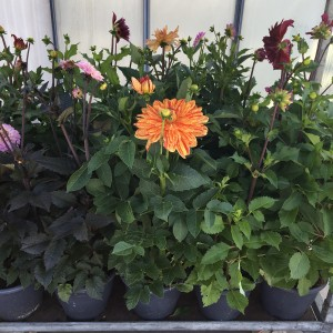 Dahlia MIX (Experts in Green)