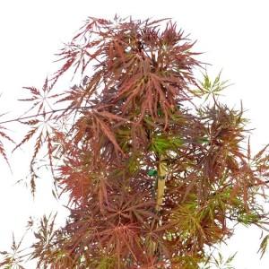 Acer palmatum 'Firecracker' (Son & Koot BV)