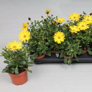 Osteospermum FLOWERPOWER YELLOW