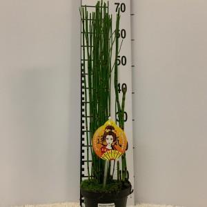 Equisetum hyemale 'Variegata'