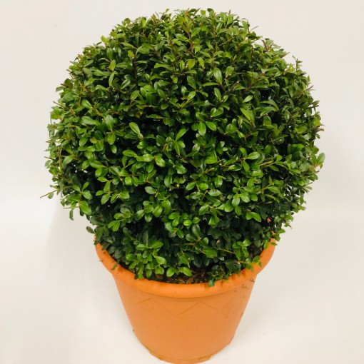 Ilex crenata 'Stokes' (Experts in Green)