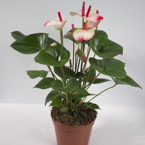 Anthurium KARMA HOTLIPS (Karma Plants)