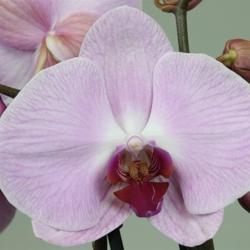 Phalaenopsis ANTHURA SACRAMENTO (Leerdam Orchideeën)
