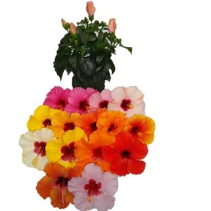 Hibiscus rosa-sinensis HIBISQS MIX