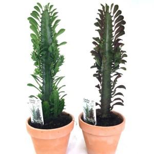 Euphorbia trigona MIX