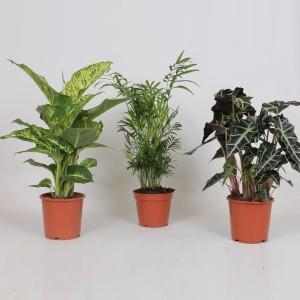 Foliage plants MIX