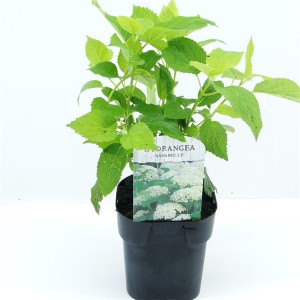 Hydrangea arborescens 'Annabelle' (Hooftman boomkwekerij)