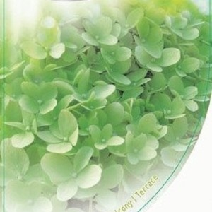 Hydrangea paniculata 'Limelight' (Dool Botanic)
