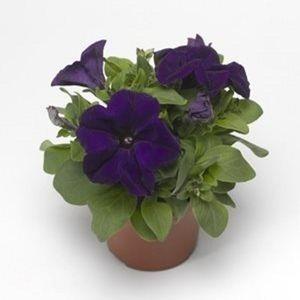 Petunia 'Duvet Blue'